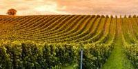 Sequencing Study Lifts Veil on Wine's Microbial Terroir