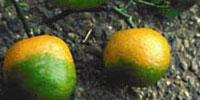 Researchers Find Chemicals that Treat Citrus Greening in the Lab