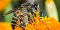 Research Suggests UK Honey Bee Parasite Linked to Climate Change