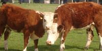 Do You Speak Cow?