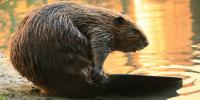 How Beavers are Slowly Changing the World