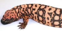 Mapping Lizard Venom Makes it Possible to Develop New Drugs