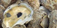 Researchers Make Breakthrough in Detecting Most Common Bacteria Contaminating Oysters