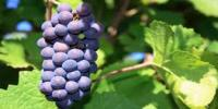 What's in Your Wine? New Study Reveals How Production Methods Affect Color and Taste of Pinot Noir