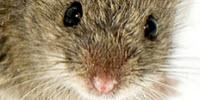 Hormone 'Erases' Male Smell for Female Mice