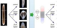 Planarian Regeneration Model Discovered by Artificial Intelligence