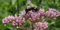 Buzz the Alarm: Climate Change Puts Squeeze on Bumblebees