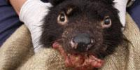 Researchers Aim to Produce Vaccine to Save the Tasmanian Devil