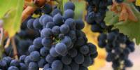 Grape Waste Could Make Great Biofuel