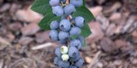 Scientists Zero in on Genetic Traits for Best Blueberry Taste