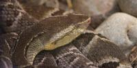 Snake Venom Helps Hydrogels Stop the Bleeding