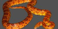 Corn Snake Genome Sequenced for the First Time