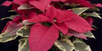 Scientists Find Way to Reduce Pesticide Use and Save Millions for Ornamental Industry