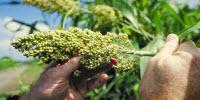 U.S. Department of Energy Awards $13.5M to Enhance Sorghum for Biofuel