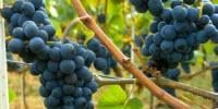 Toward Consistently Good Pinot Noir