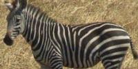 Zebra Stripes Not for Camouflage, New Study Finds