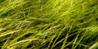 Consortium Publishes Fully Sequenced Genome of Seagrass Zostera Marina