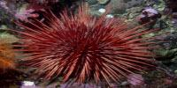 Is Aging Inevitable? Not Necessarily for Sea Urchins