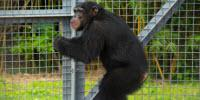 Project Chimps and UL Lafayette to Transfer 220 Retired Chimpanzees
