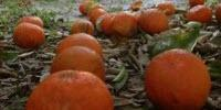 New Method Tells Growers More about Citrus Decay
