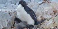 Penguin Population Could Drop 60% by End of the Century