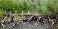 Beavers May Restore Imperiled Streams, Fish Populations