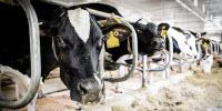 Happy Hormone's Calcium Connection May Make Cows and Humans Healthier