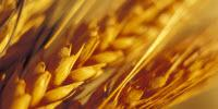 Researchers Find Biological Explanation for Non-Celiac Wheat Sensitivity