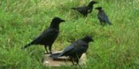 Scavenger Crows Provide Public Service, Research Shows