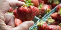 Peach-Sized Strawberry Delivers Huge Dose of Intense Flavor