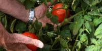 High Tunnel-Grown Tomatoes Go to Amarillo Supermarket