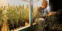 New $9.7 Million Grant Funds Search for Wheat-Yield Genes