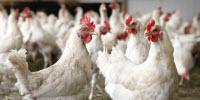 New Evidence Shows How Bacterium in Undercooked Chicken Causes GBS