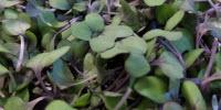 Red Cabbage Microgreens Lower 'Bad' Cholesterol in Animal Study