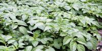 Study Provides Evidence on Movement of Potato Famine Pathogen