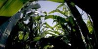 Crop Achilles' Heel Costs Farmers 10 Percent of Potential Yield