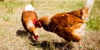 Hot Weather Not to Blame for Salmonella on Egg Farms