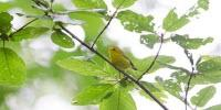 Songbirds Divorce, Flee, Fail to Reproduce Due to Suburban Sprawl