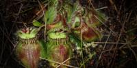 Study Sheds Light on How Carnivorous Plants Acquired a Taste for Meat