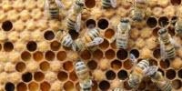 New Data Unearths Pesticide Peril in Beehives