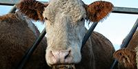 New Foot-and-Mouth Disease Rapid Diagnostic Kit Gets License for Use in U.S. Livestock