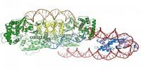 Researchers Discover How CRISPR Proteins Find Their Target