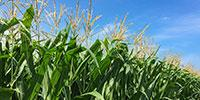 Researchers Find Corn Gene Conferring Resistance to Multiple Plant Leaf Diseases