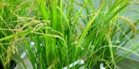 Researchers Develop Multi-Nutrient Rice That Aims to Protect against Malnutrition