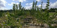 Probiotics Help Poplar Trees Clean up Toxins in Superfund Sites