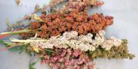Researchers Aim to Re-Domesticate Quinoa for Northern New England
