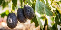 Scientists to Help California, Florida Growers Control Dangerous Avocado Pathogen