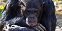 Apes' Abilities Misunderstood by Decades of Poor Science