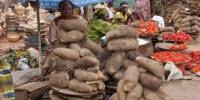 Crowning the 'King of the Crops': Sequencing the White Guinea Yam Genome
