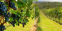 Novel Transdisciplinary Study Uncovers Microbes That May One Day Deter Major Grape Disease